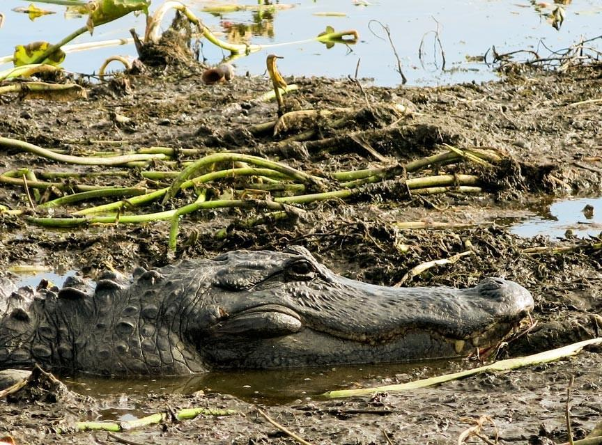 GATOR IN MARSH